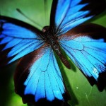 Check out this beautiful ulyssesbutterfly The Daintree is alive withhellip