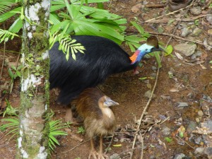 Cassowary and chick photographed at the Daintree Discovery Centre