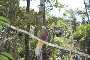 Woompoo pigeon