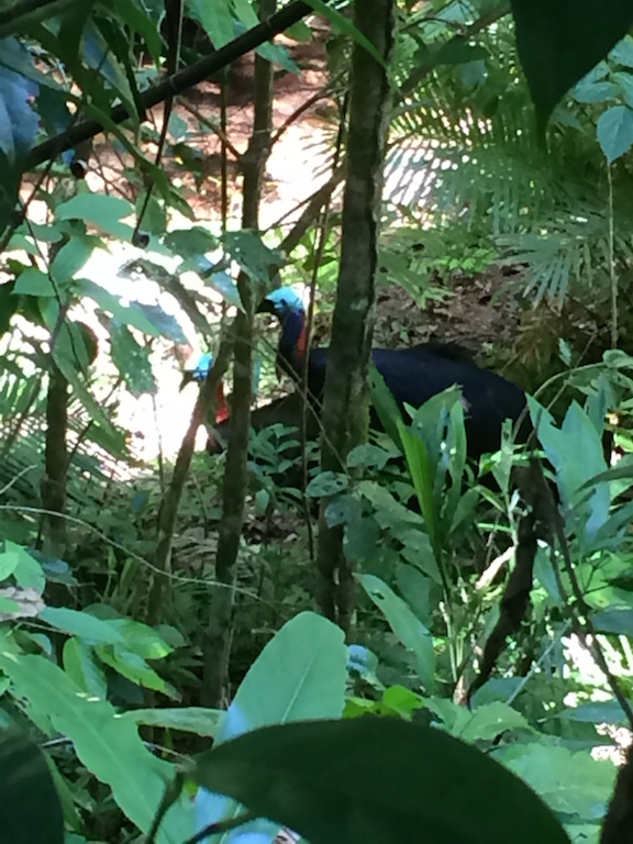 Cassowaries-mating-at-the-Daintree-Discovery-Centre