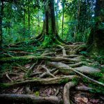 GIANT ROOTS Tropical rainforest trees have adapted to the poorhellip
