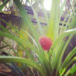 PANDANUS FOR DINNER? The Scrub Breadfruit Pandanus monticola was ahellip