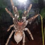 Daintree Tarantulas are native to North Queensland and are alsohellip